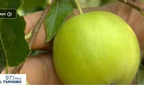 Най-скъпата ябълка в света расте в Пловдивско