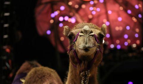 Уникална операция на циркова камила извършиха ветеринари от Тракийския университет