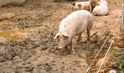Затягат мерките при отглеждането на прасета