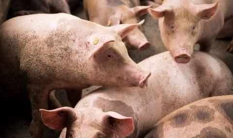 Епидемия от чума по свинете - 1