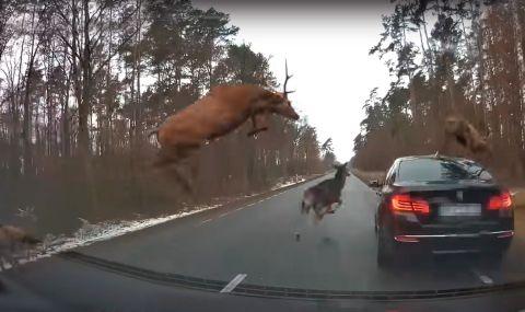 Стадо елени повреди сериозно BMW на горски път (ВИДЕО)