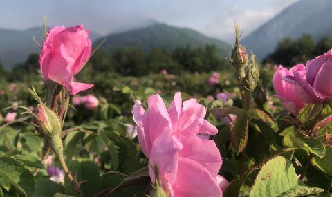 В Розовата долина започна традиционният празник на маслодайното цвете
