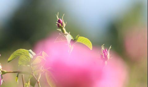 ЕС подкрепя българската маслодайна роза с 1,5 милиона евро