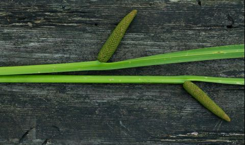 Българско растение е мощна защита срещу COVID-19