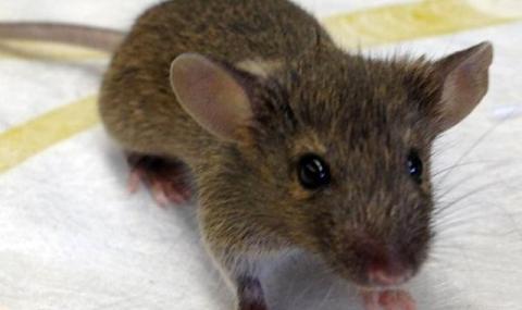 В САЩ създадоха хибрид между човек и мишка