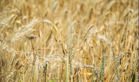 Тревожна прогноза за много ниски добиви на пшеница в Добруджа