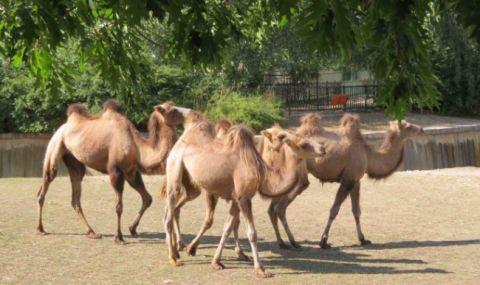 4 двугърби камили пристигнаха в зоопарка в София - 1
