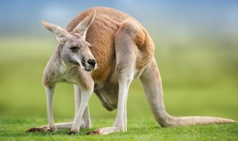 Внимание! Издирва се опасно... кенгуру