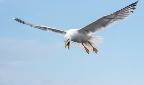 Чайка похити чихуахуа (СНИМКИ)