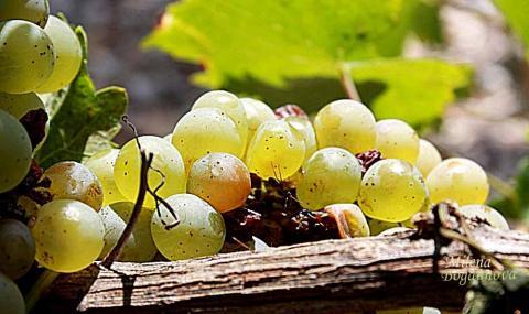 До 0.80 лева за килограм грозде