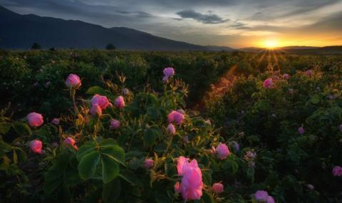 Цвете от Борован