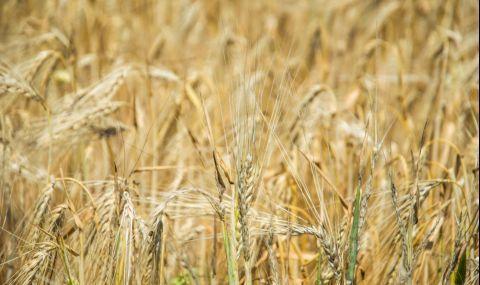 Ожънаха над 7 000 000 тона пшеница - 1