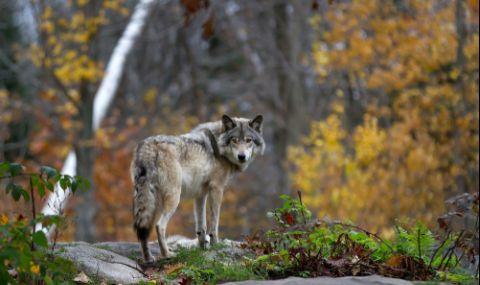 Вълци слязоха до къщите в Радомирско - 1