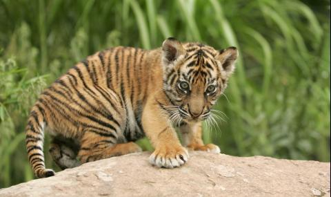 Двойка купи котка, но получи тигърче
