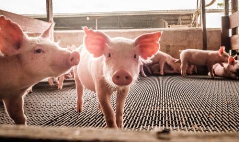 Зелените докарали африканската чума по свинете