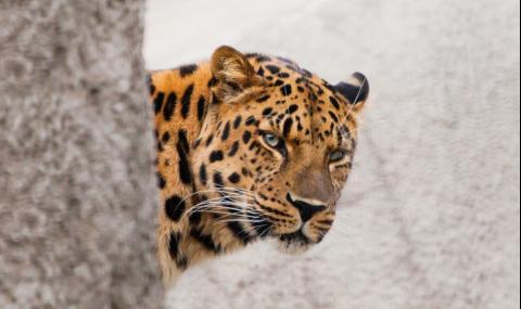 Само 20% виждат леопарда на тази СНИМКА