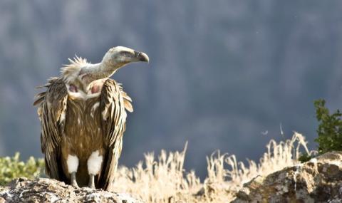 Мъртви лешояди във Врачанския Балкан