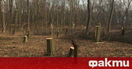 Бракониери са успели да отсекат незабелязано 180 дървета от видовете