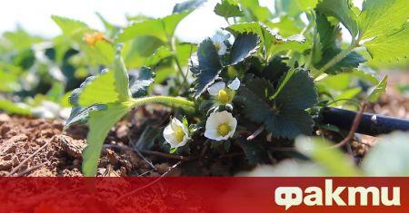 Студът и лошото време обричат на провал сезона на ягодите