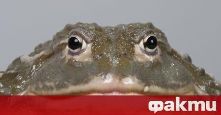 В мрежата бяха публикувани страховити снимки на огромна жаба. Според