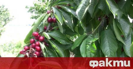 На 1 юни започва прибирането на реколтата от череши в