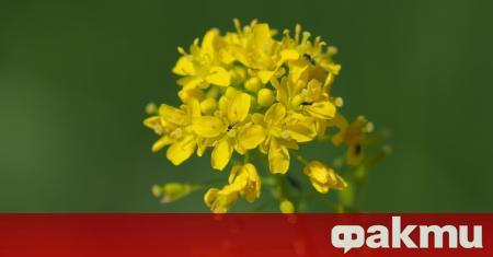 Това растение беше много популярно в Западна и Южна Европа.