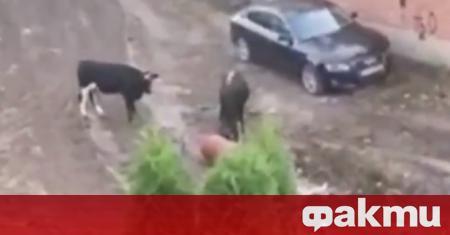 """Два огромни бика тероризират жители на столичния кв. """"Лозенец"""". Рогатите"""