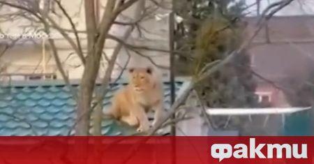 Лъв на покрива на къща беше забелязан в руско село,