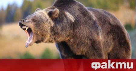 Три нападения от мечки е имало през последните дни в