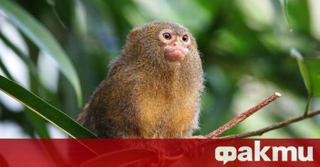 Най-дребната маймунка в света е мармозетката джудже. Максималното тегло, което