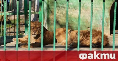 Двата лъва от зоопарка в Разград трябва да минат на