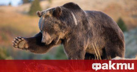 Жена е била убита при атака от мечка край град
