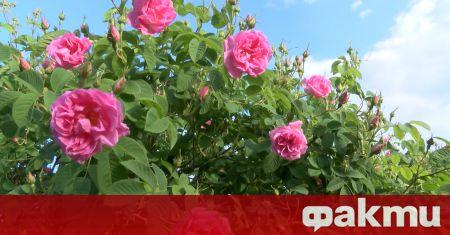 Поне 40% розовите градини у нас тази година ще останат