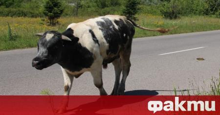 Разярен бик нападнал и наръгал в корема работник от кравеферма