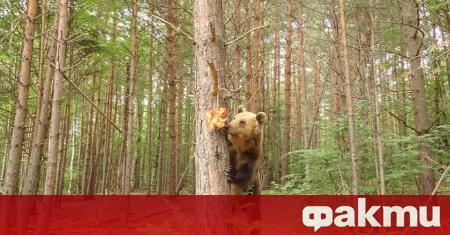 Ледени лакомства приготвиха за мечките в Белица стопаните на парка.