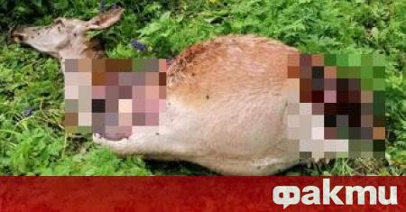 Бракониери, застреляли бременна кошута в Тетевенския Балкан, са арестувани от