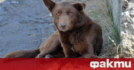 Пет белгийски овчарки нападнаха жена край Асеновград. За случилото се