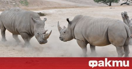 Общо 12 ембриона на северен бял носорог бяха създадени след