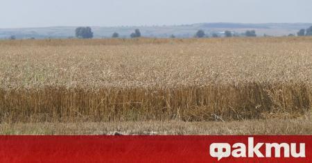 С около 30% по-слаби добиви на пшеница очакват зърнопроизводителите в