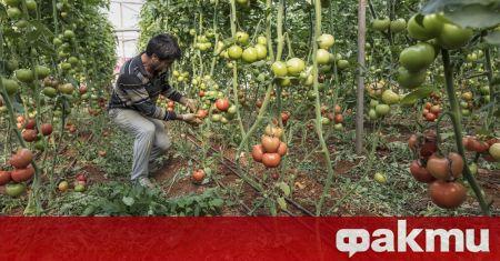 Турция ще отглежда домати при температури до 35 градуса под