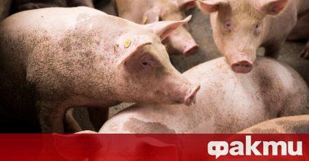 Случаи на инфекция с африканска чума по свинете (АЧС) са