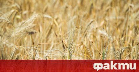 Цените на пшеницата и брашното ще продължат да растат. Очакват