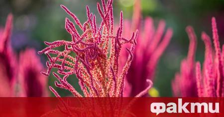 Растението амарант притежава наистина впечатляващи хранителни качества, макар вкусовите му