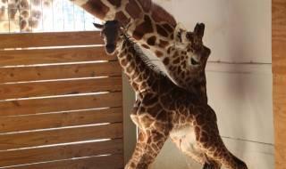 Раждането на жираф счупи рекорди - 1