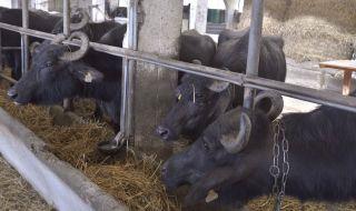 Трудна година отчетоха биволовъдите