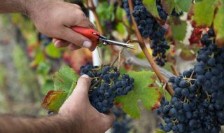 Институтът по лозарство и винарство отчита успешна година