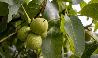 Незаменимите ползи от ореховите листа