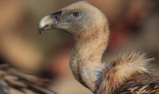 73 белоглави лешоядчета са се излюпили в Източните Родопи