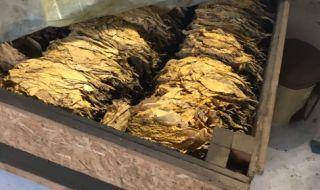 Производителите на тютюн изнемогват – много труд, ниски изкупни цени