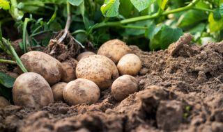 Българският картоф се подправял със забранена в ЕС отрова